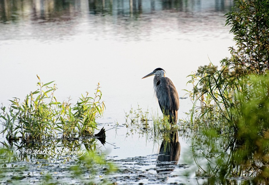 Spotted this magnificent bird hunting for breakfast while walking around a lake in Boca Raton, Fl...