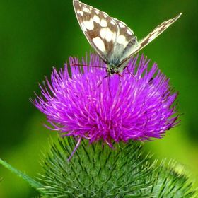 A lovely close up photograph of a butterfly on a thistle taken in the Wiltshire countryside by Carol Gadd (artist, By Gadd Art and Design).