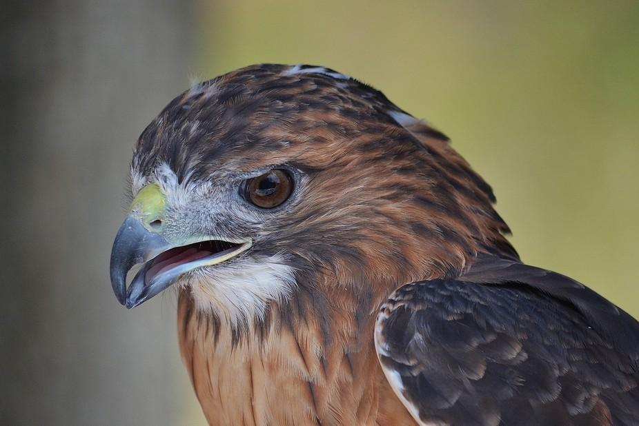 Phoenix - Male Red Tailed Hawk