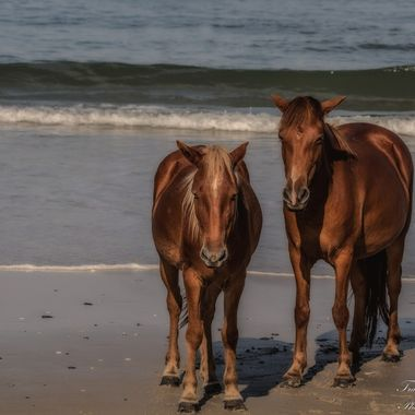 Two Banker horses on North Carolina's Outer Banks