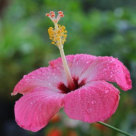 Dewdrops On Hibiscus