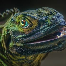 Philippine sailfin water dragon, Melbourne Zoo