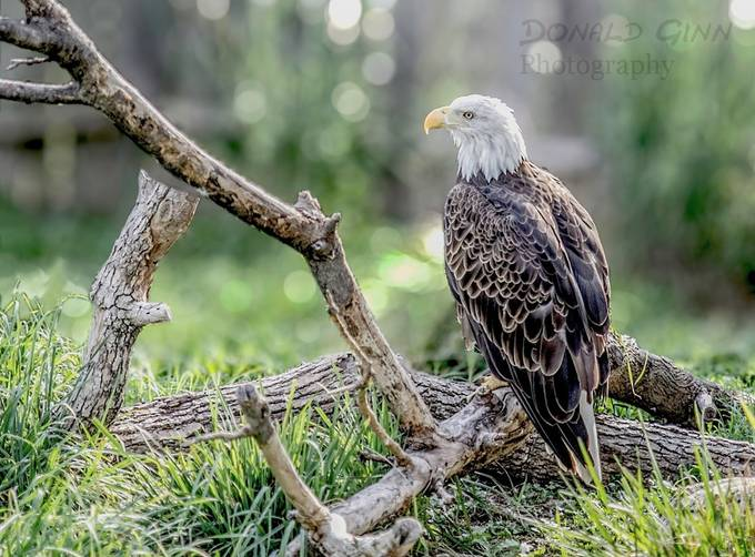 Eagle has landed by donaldginn - Monthly Pro Vol 24 Photo Contest