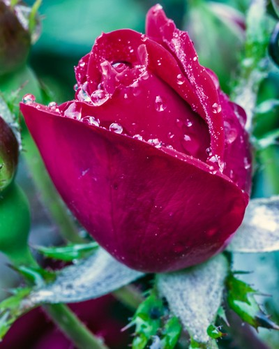 Waterlogged Rose