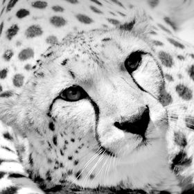 Who you looking @@ Cheetah
