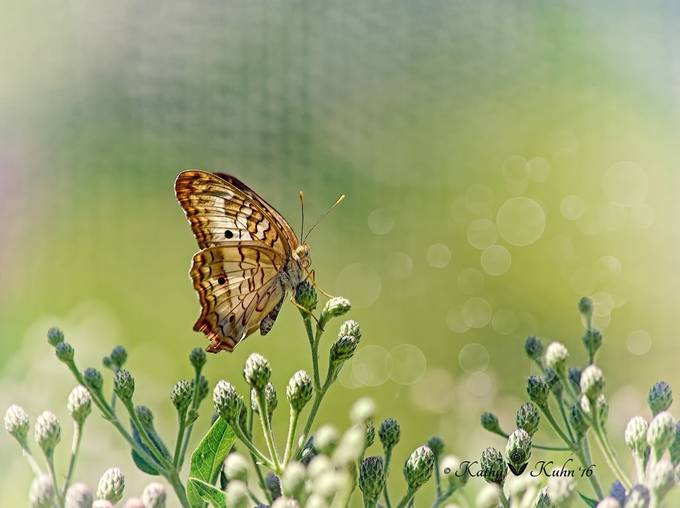 Morning in Alice's Garden by kathyk_abq - Beautiful Butterflies Photo Contest
