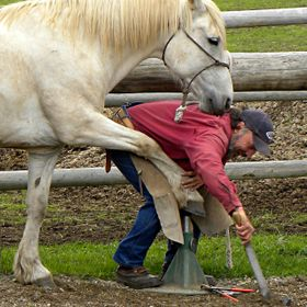This is someone I know shoeing his horse.  He is an exceptional horseman and this horse obviously loved his owner.  It's almost as if he...