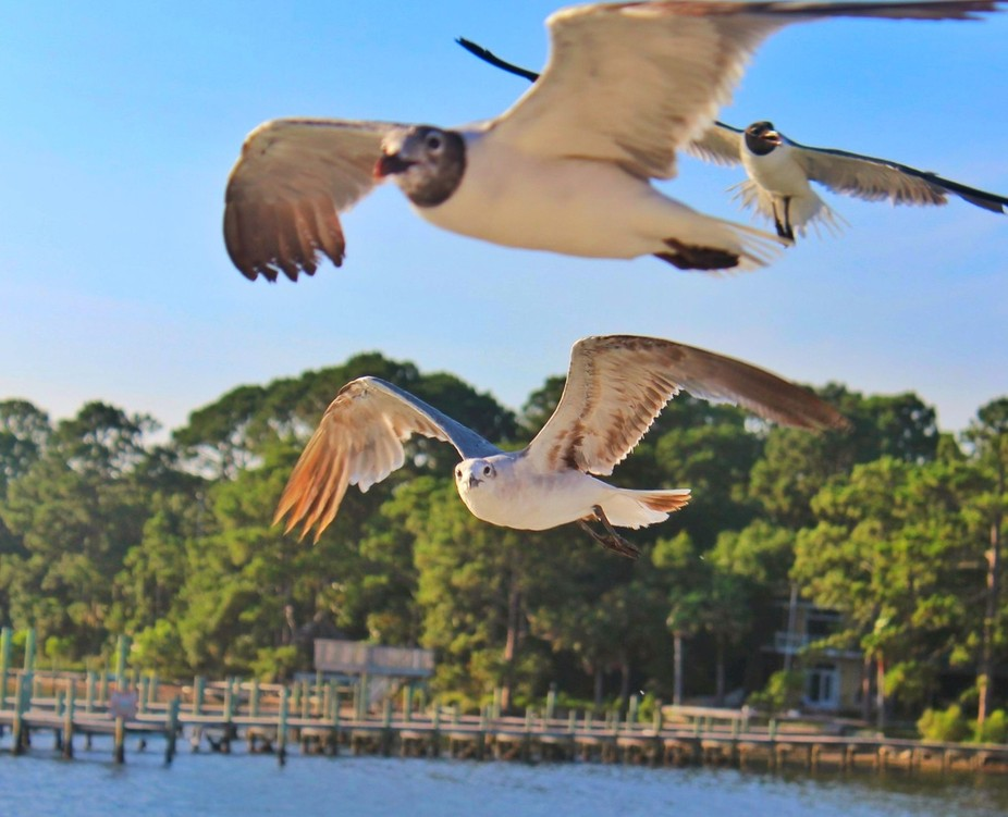 Three seagulls flying over St. Andrews Bay in Panama City Beach FL.