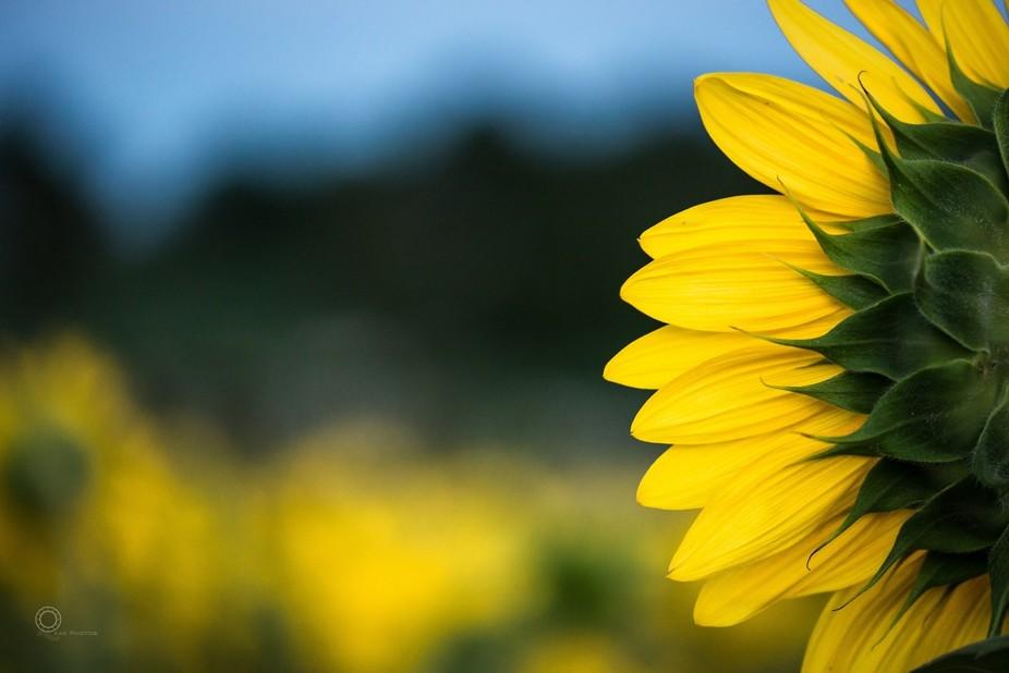 Forward ever - Sunflower @ Pope  Farm, Middleton, Wisconsin