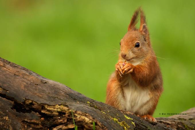 Cute Squirrel by Evi_Verstraeten - Animals And Rule Of Thirds Photo Contest