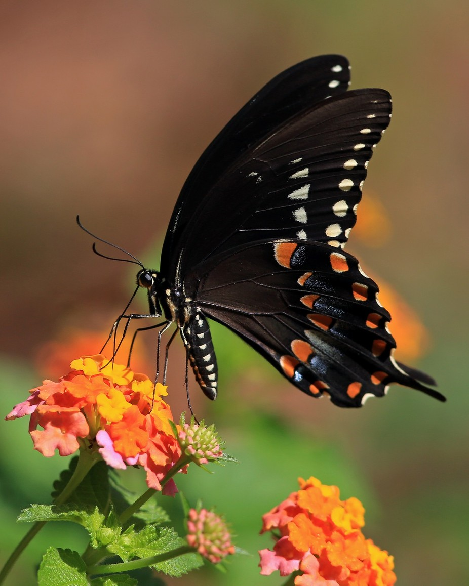 backyard spicebush by bmfox - Beautiful Butterflies Photo Contest