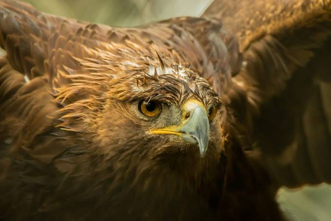 In Golden Light by laddiehalupa - Just Eagles Photo Contest