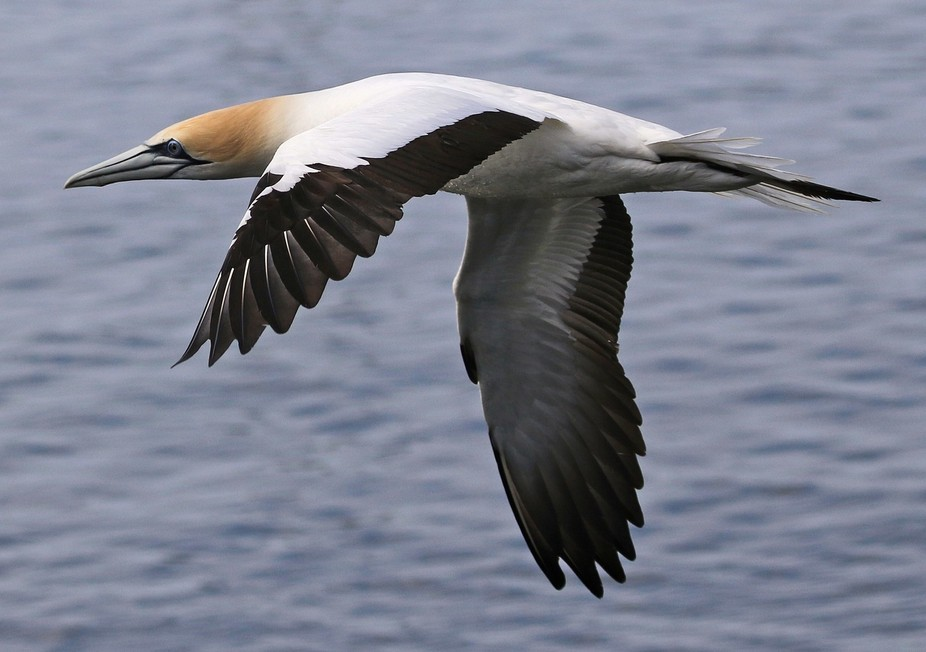Several colonies of Gannets live within 5 km of Portland Australia.  A huge school of Pilchards c...