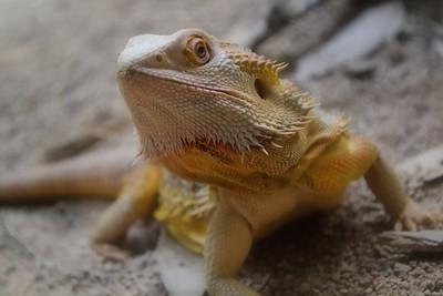 Pogona Lizard