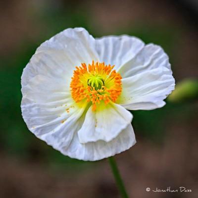'White Poppy'