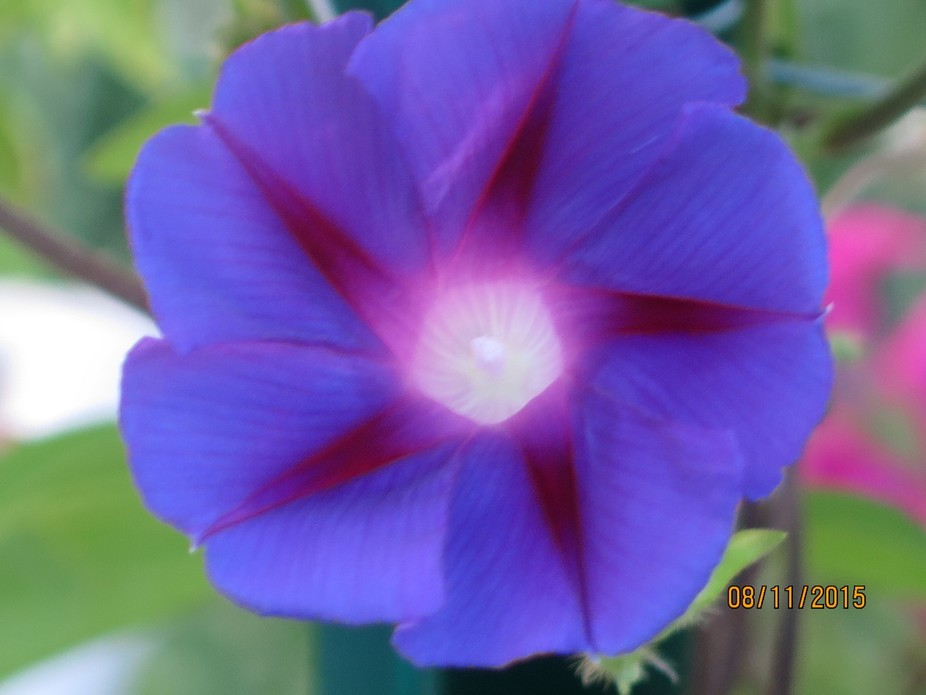This morning glory shares its glory with an infinite center