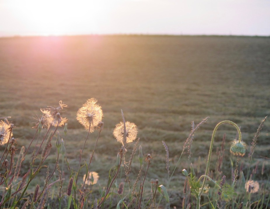 On Prince Edward Island, Canada, these giant dandelions blow in the wind.