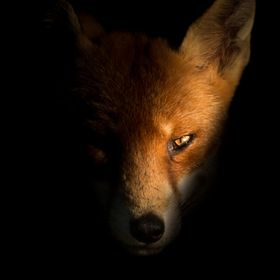 Thought very much as creatures of stealth and the night I felt I wanted to give this photograph of my regular garden fox a bit of a dark and myst...