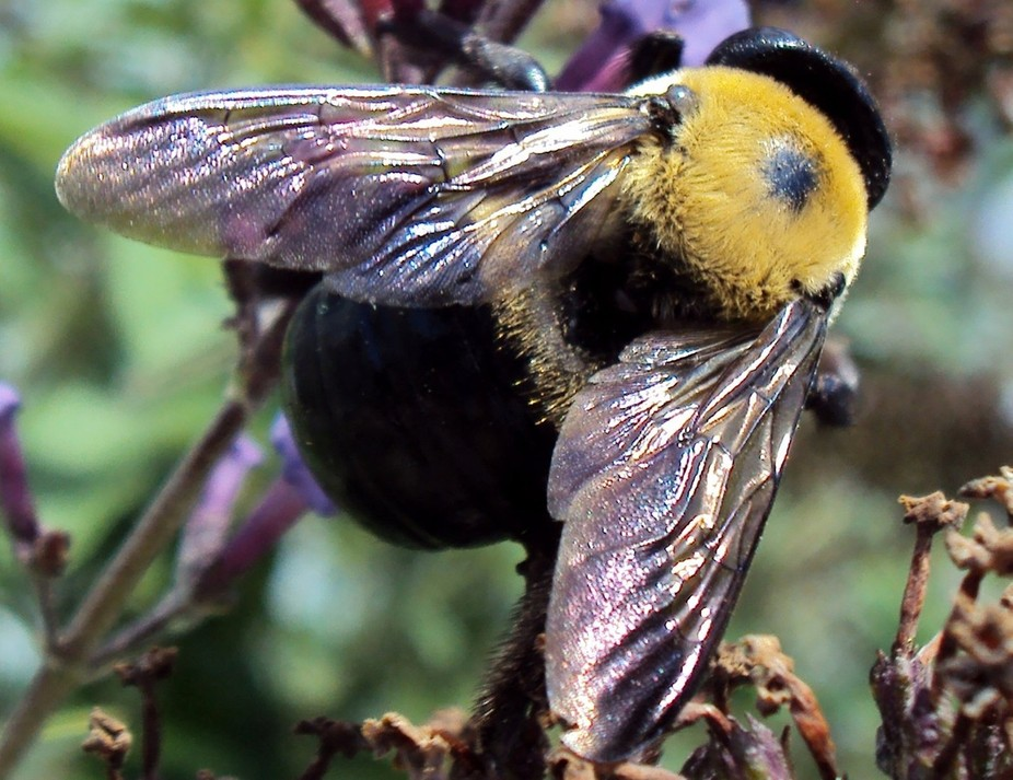 I took this in my son's yard and loved the shine of colors on the bee wings with the mac...