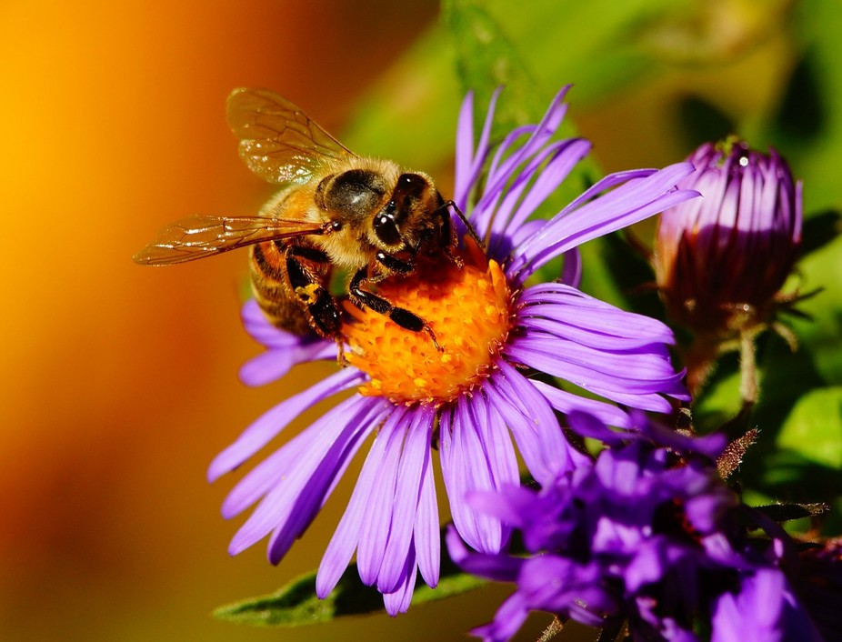 Honeybee preparing for a long winter, harvesting sweet nectar from this Fall aster.  2512 crop
