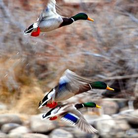 Duck's in Flight