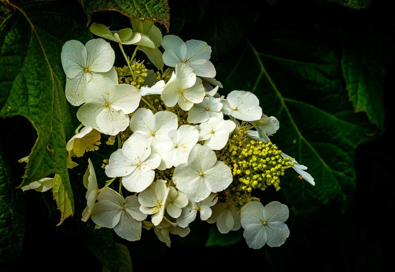 Captured in our garden in Lake Oswego, Oregon. This beautiful Oak Hydrangea bloom was nestled between leaves with just enough light penetrating from the leaves above to illuminate the white petals of the flower. I love the radiance and color of this capture.