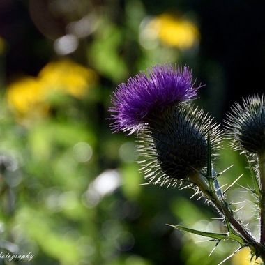 Canaidian Thistle