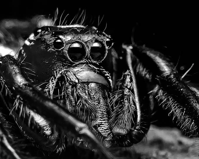 Black and White Jumping Spider by keithpassaur - Monthly Pro Vol 24 Photo Contest