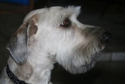 Schnauzer Dog Posing