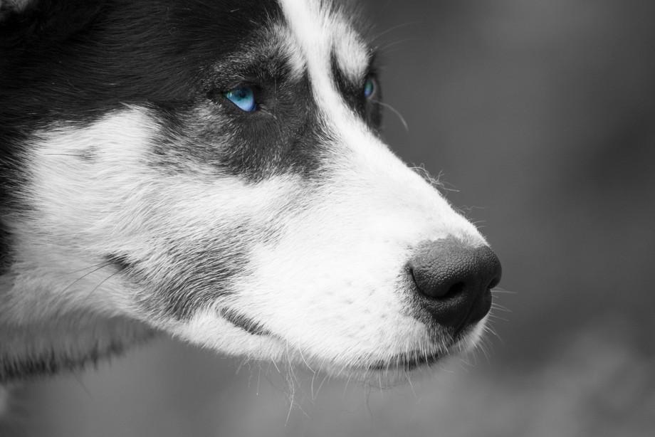 Husky from the sheds of Denali National Park.