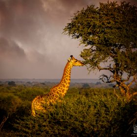 Storm Clouds Gather Over Grazing Giraffe