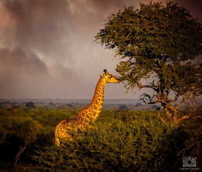 Storm Clouds Gather Over Grazing Giraffe