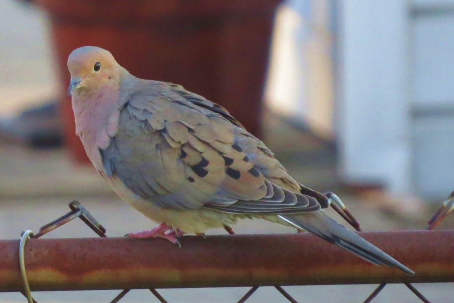 lovely mourning dove