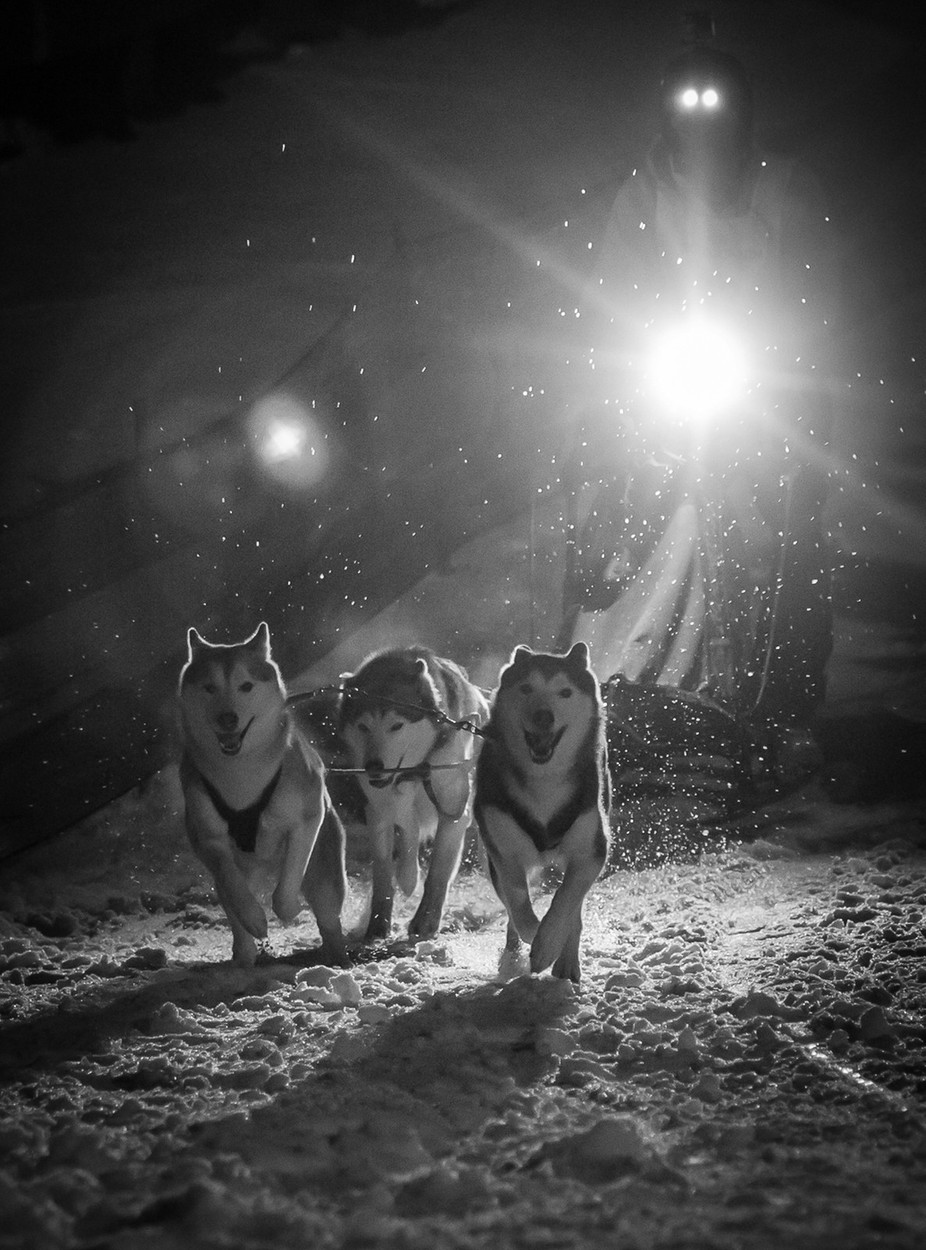 A team of 3 enthusiastic huskies head off for their run around around the Falls Creek village during the 2016 Sled Dog Classic.