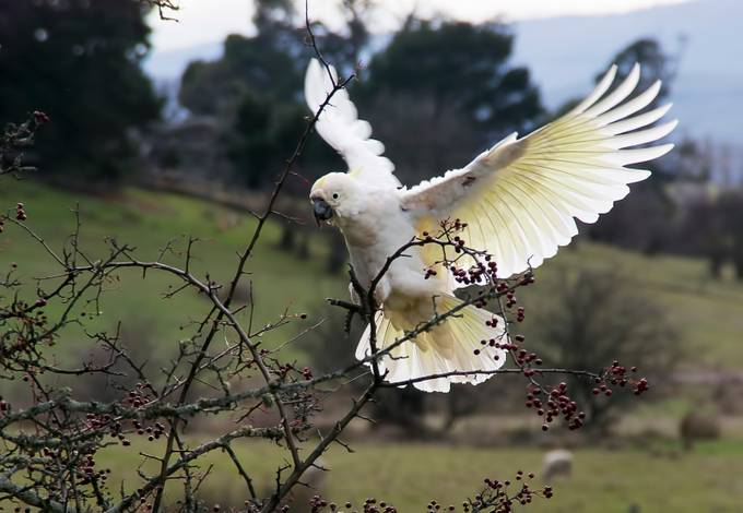 In the sheep paddock next door there is a Hawthorne tree full of berries. The Cockatoos fly down from the Gumtrees and feast on the fruit.