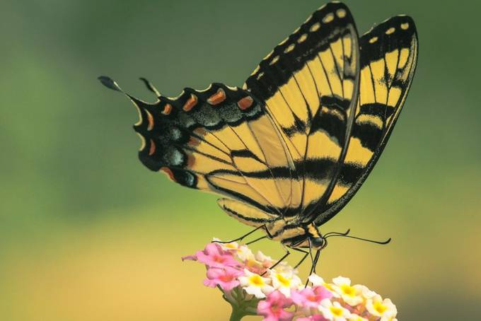 Eastern Tiger Swallowtail  by photopainter10 - Beautiful Butterflies Photo Contest