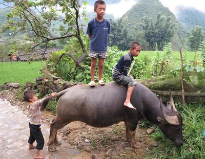 Vietnamese buffalo boys