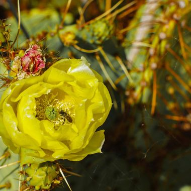 Bee in cactus Blossom
