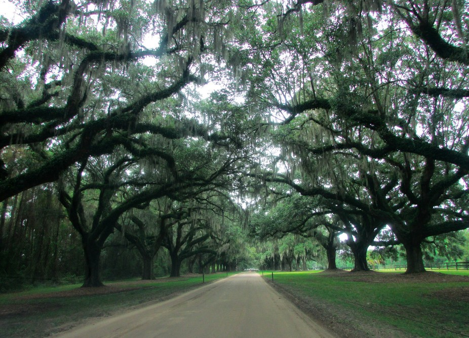 Moss Trees at Boone Hall Plantation-2964