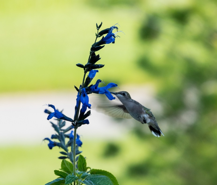 Hummingbird Returns-