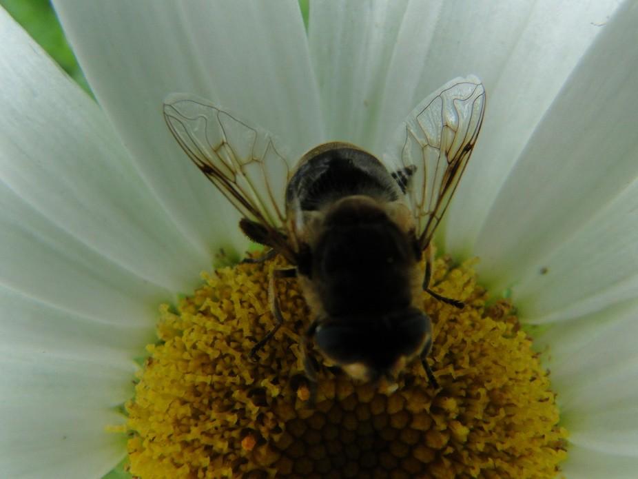 a bee on a daizy flower