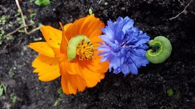 Caterpillars on flower