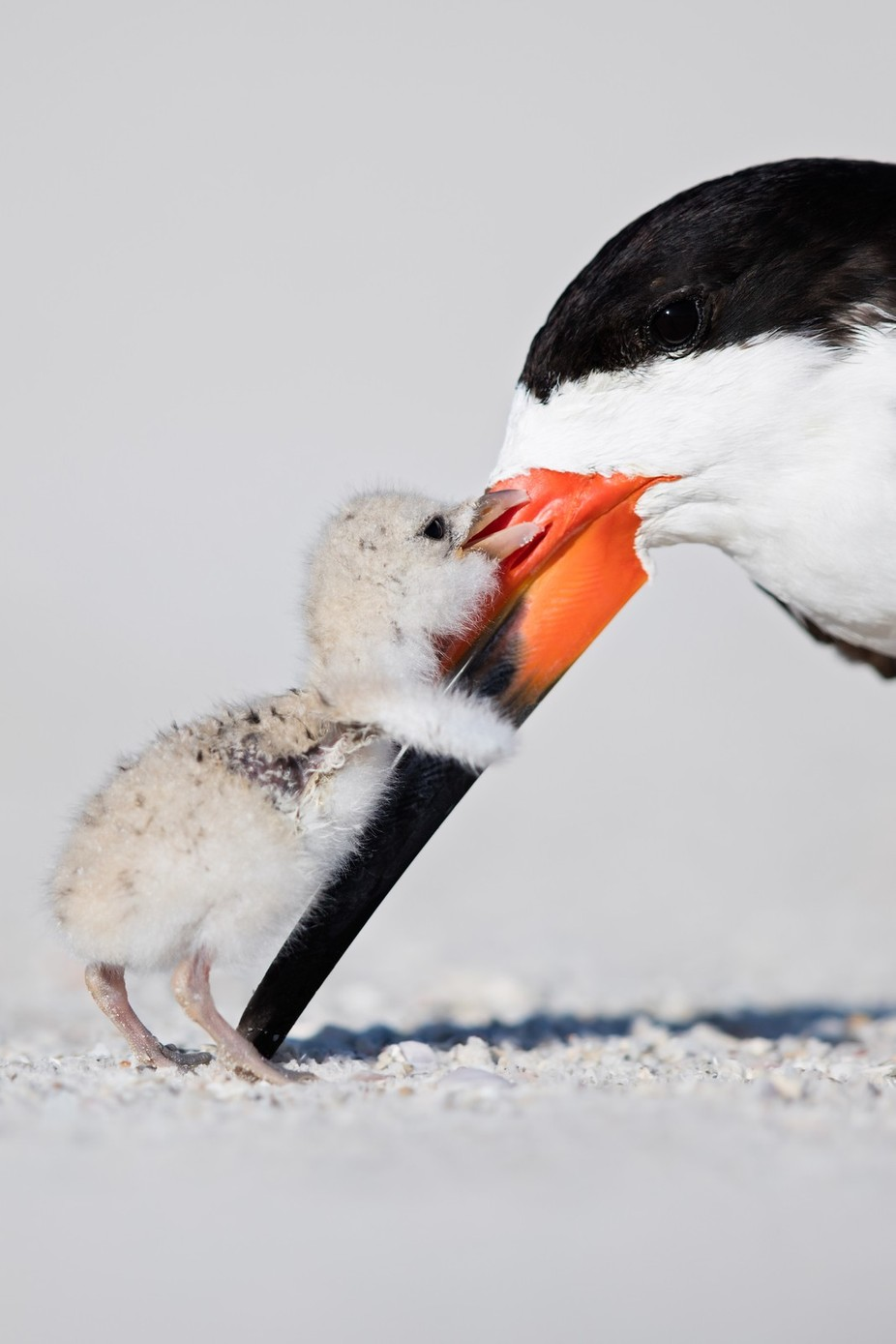 Black Skimmer by OutbackPhotoAdventures - My Best Shot Photo Contest Vol 3