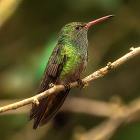 The adult rufous-tailed hummingbird is 10–12 cm (3.9–4.7 in) long and weighs approximately 5.2 g (0.18 oz). The throat is green (edged whitis...