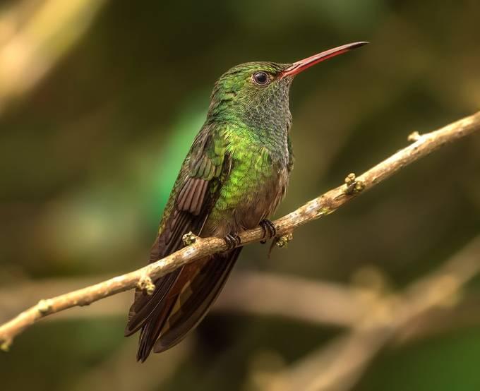 Rufous-tailed hummingbird by David-B - Hummingbirds Photo Contest