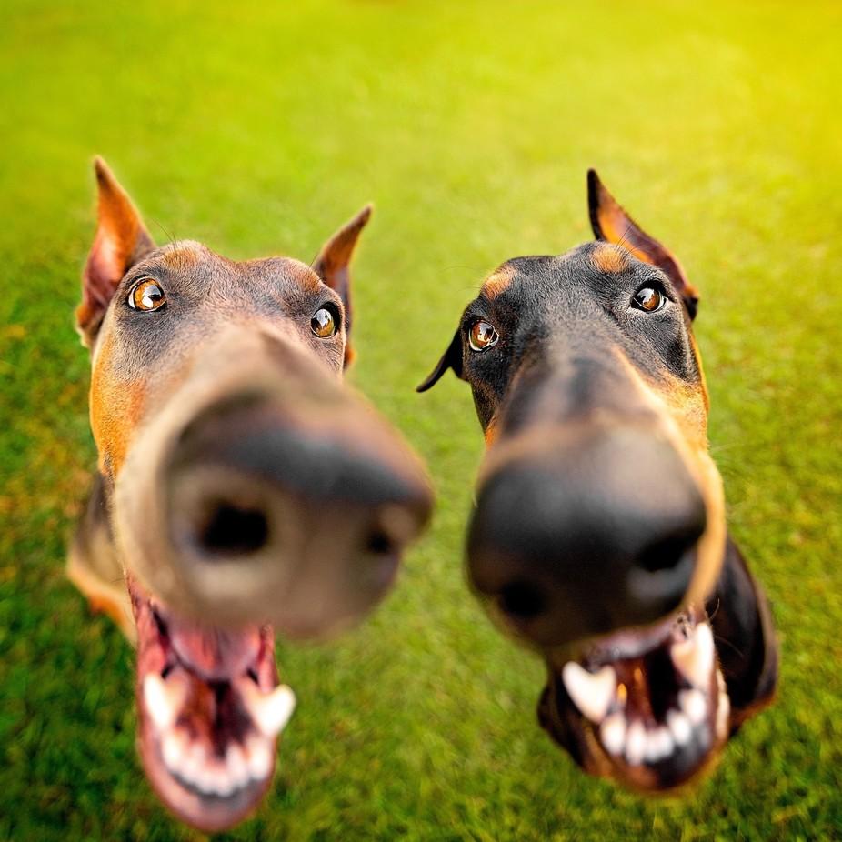 I Nose You Haz Treatz by DobermanDuo - My Best Shot Photo Contest Vol 3