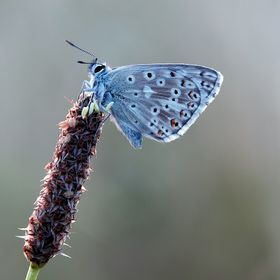 Chalk Hill Blue butterfly taken on the Kent Downs, just outside Dover.
