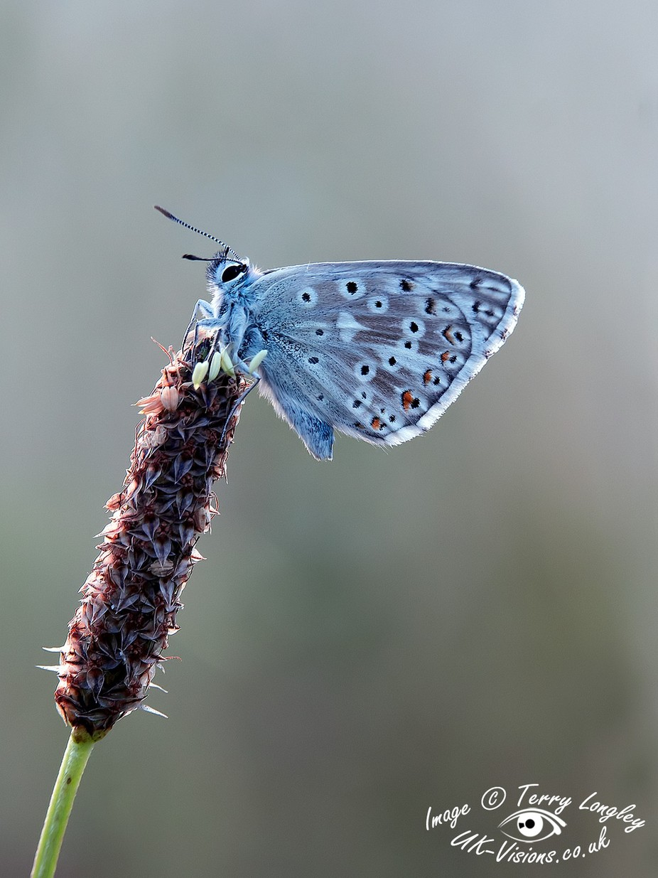 Chalk Hill Blue by TerryL - Beautiful Butterflies Photo Contest