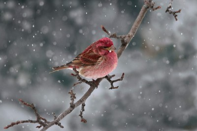 purple finch during snowstorm