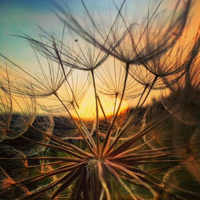 Salsify Sunset by deitrick - Your Point Of View Photo Contest